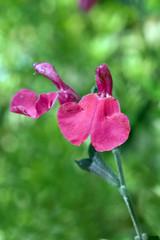 Herbstsalbei, Fiona, Salbei; Salvia,