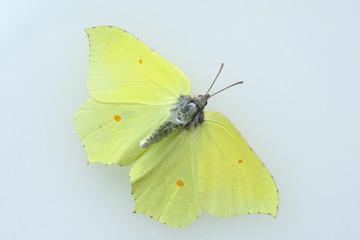 Zitronenfalter, Gonepteryx, rhamni, Weisslinge,