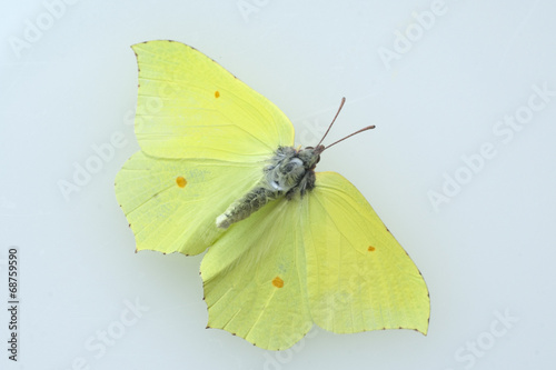Keuken foto achterwand Vlinder Zitronenfalter, Gonepteryx, rhamni, Weisslinge,