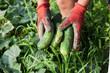 frisch gepflückte gurken in der hand halten