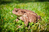 Side photo of European toad