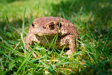 Common toad on a summer grass