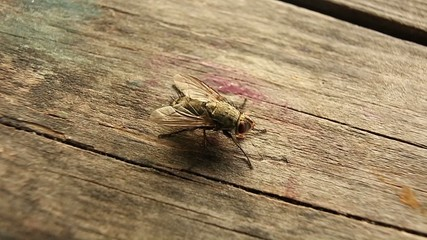 Fly crawling on the table
