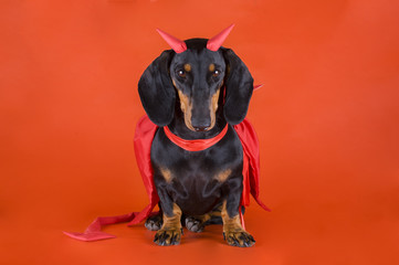 Dachshund in a devil costume on a red background