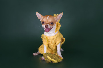 small chihuahua in the yellow suit on a green background