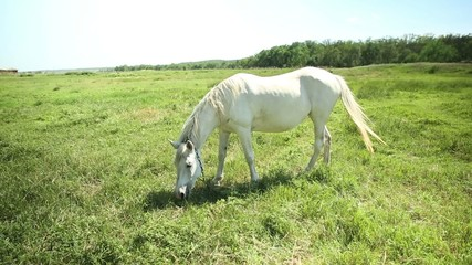 White horse grazing in a meadow