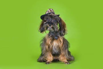 Dog Breed the Petersburg orchid in a cowboy hat on a green backg