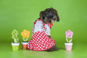 Dog Breed the Petersburg orchid in a dress on a green background