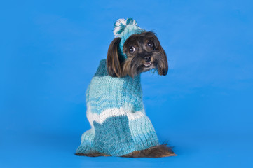 Dog Breed the Petersburg orchid in a sweater on a blue backgroun
