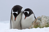 male and female Gentoo penguins which stand side by side and bow