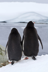 two Gentoo penguins who stand turning their backs