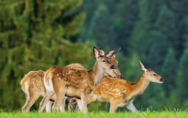fallow deer - herd on a meadow
