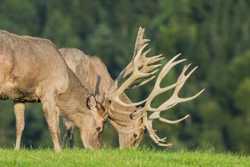 Cervus elaphus - deer
