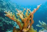 Elkhorn coral ,Acropora palmata poster