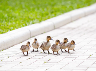 Ducklings walking on the sidewalk