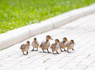 Ducklings walking on the sidewalk