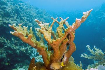 Elkhorn coral ,Acropora palmata