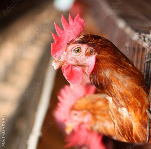 Foto op Canvas Kip Eggs chicken farm