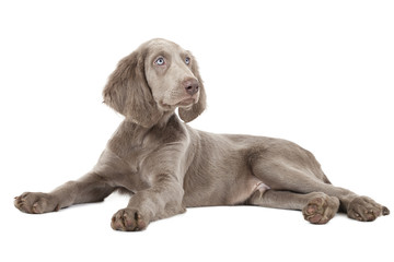 Weimaraner puppy, three months old