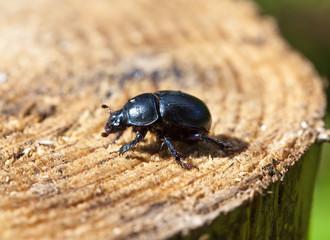 black beetle on a stub