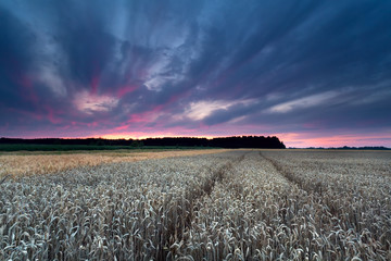 sunset sky over wheat field