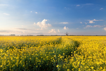 oilseed flower field in morning light