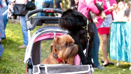 two Griffon dog in the stroller
