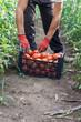 canvas print picture - Tomaten einsetzen