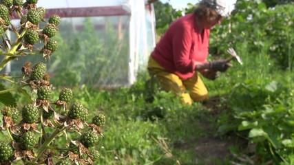 Blackberry berries grow in garden and farmer woman weed plants