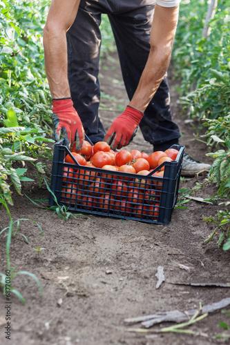 canvas print picture Tomaten einsetzen