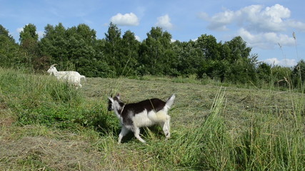 in the meadow graze goat and small black white baby goatling