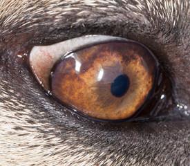 Eye dog. close-up