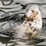 Harbour Seal (Phoca vitulina) pokes his head out of the water poster
