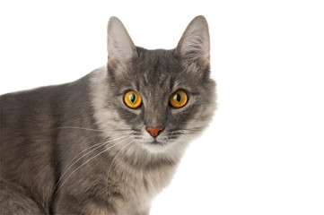 Cat closeup on white background