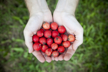 hands full of fresh raw little wild red apples