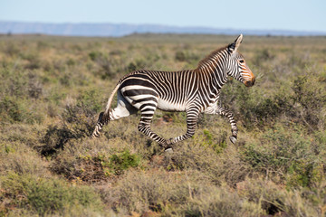 Mountain Zebra Running