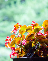beautiful begonia