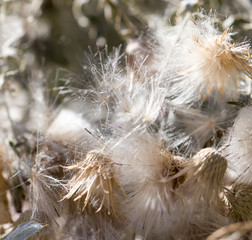 fluff from a dandelion on a plant