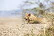 African male lion in Serengeti
