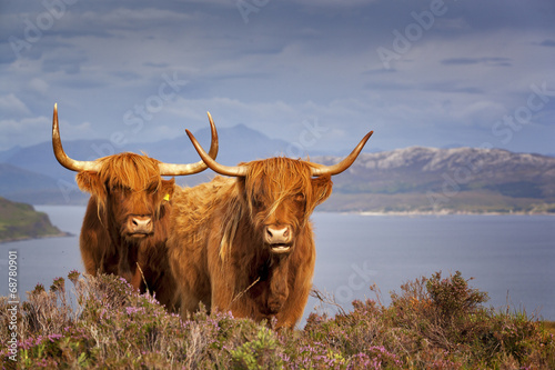 Tuinposter Koe Scottish Cow IV