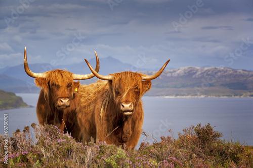 Poster Scottish Cow IV