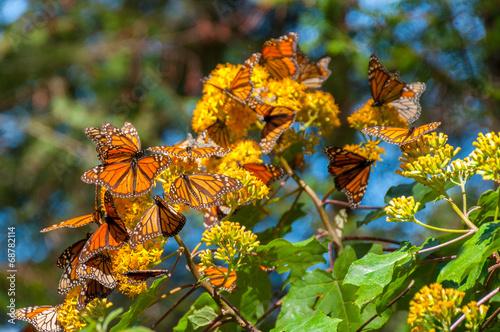 Deurstickers Vlinder Reserva de Biosfera de Mariposa Monarca, Michoacán (México)