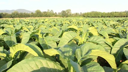 Tobacco plantation field taken from left to right
