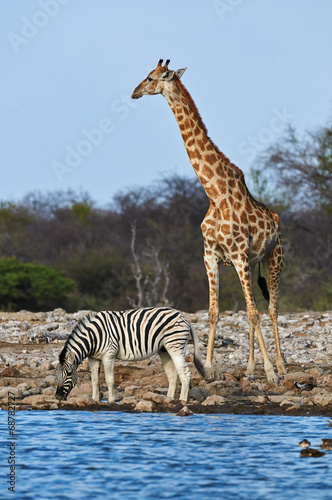 Foto op Canvas Zebra Giraffe and zebra