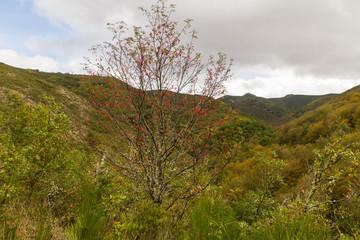 Serbal con frutos en Paisaje de Montes y Bosques