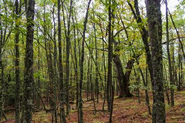 Bosque de Hayas y Robles en Otoño