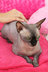 Beautiful gray sphinx cat relaxing on plaid in room