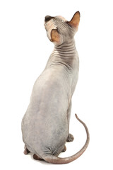 Beautiful gray sphinx cat isolated on white