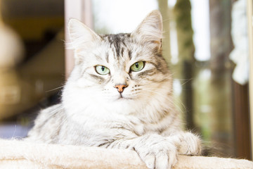 female cat of siberian breed, silver version - livestock cat