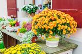 Fototapety Beautiful chrysanthemums in pots, outdoors